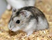 Nouveaux animaux de compagnie Namur - Hamster
